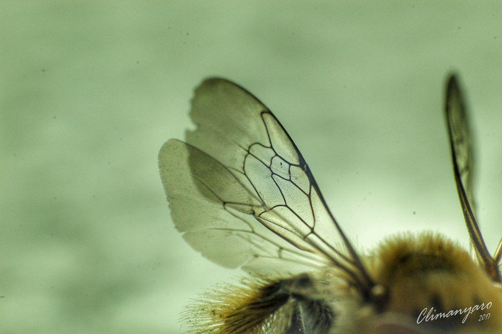 Bees wings.jpeg