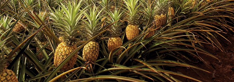 pineapple-tree.jpg