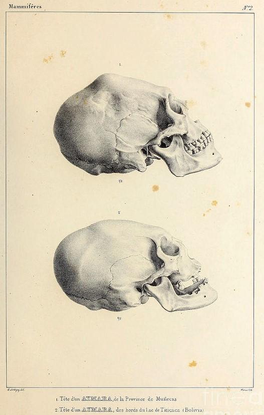 skull-of-an-aymara-indian.jpg